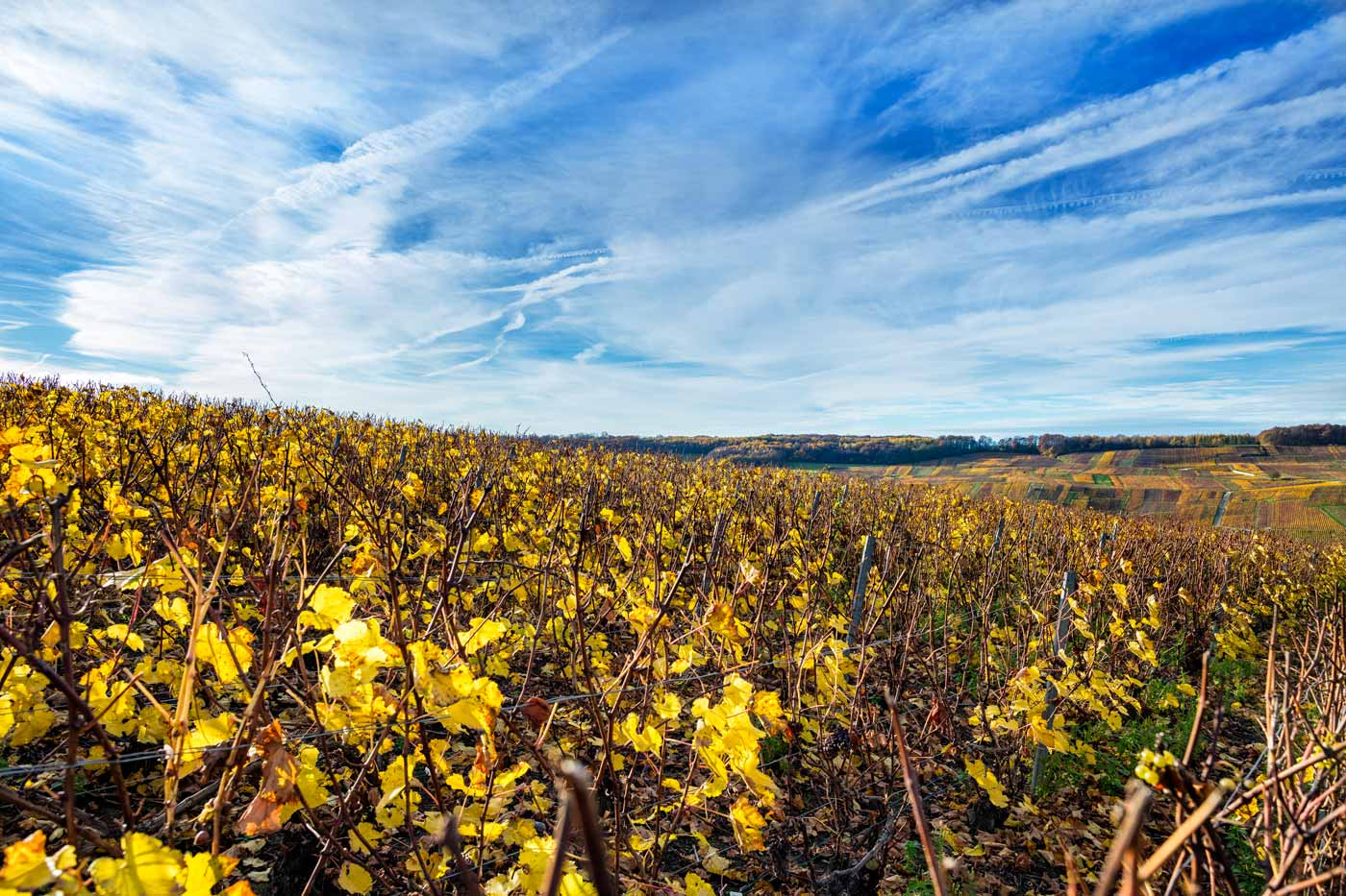 A vineyard in the french Champagne region